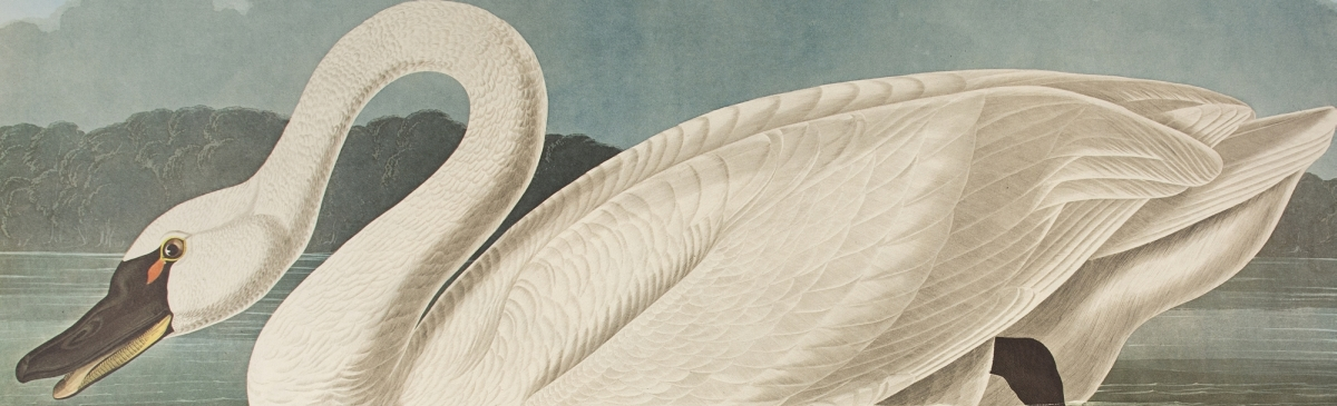 "Common American Swan. From ""The Birds of America"" (Amsterdam Edition)"