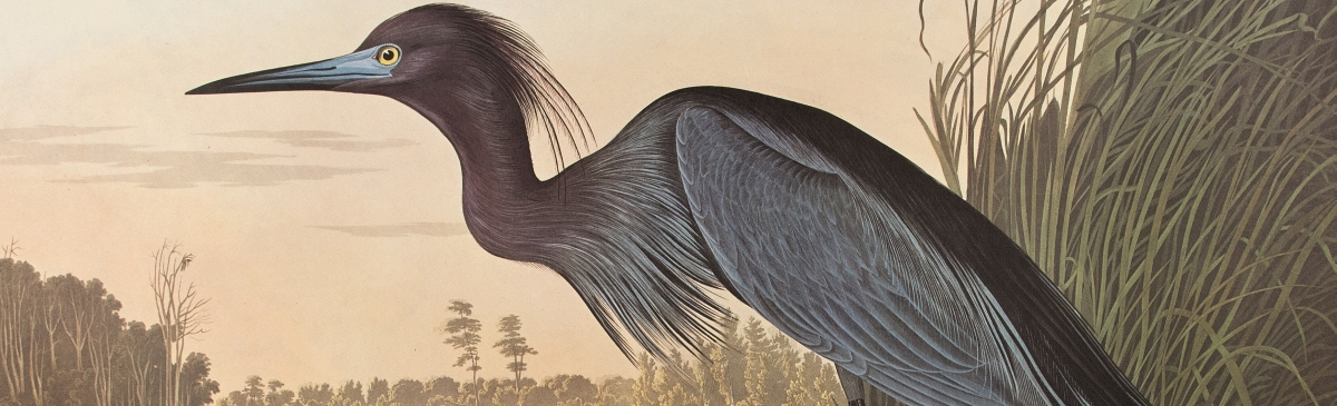"Blue Crane or Heron. From ""The Birds of America"" (Amsterdam..."