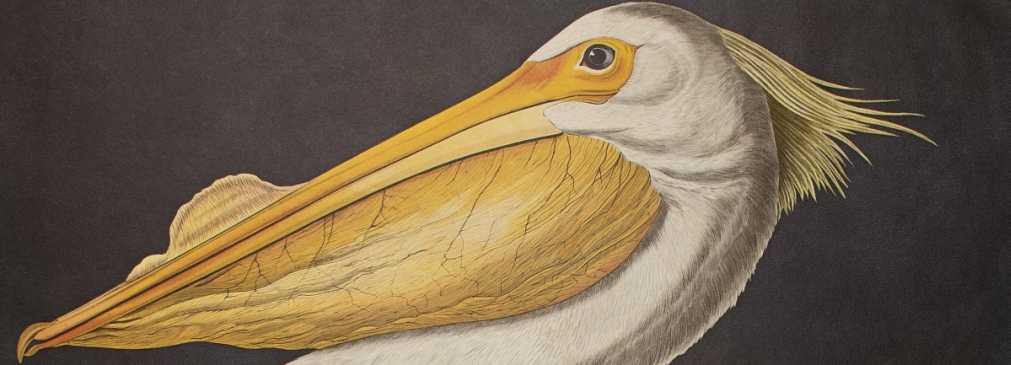 "American White Pelican. From ""The Birds of America"" (Amsterdam Edition)"