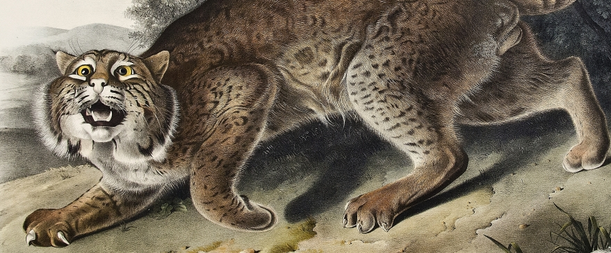 "<span itemprop=""name"">Common American Wild Cat.  Male. [Pl. 1]</span>"