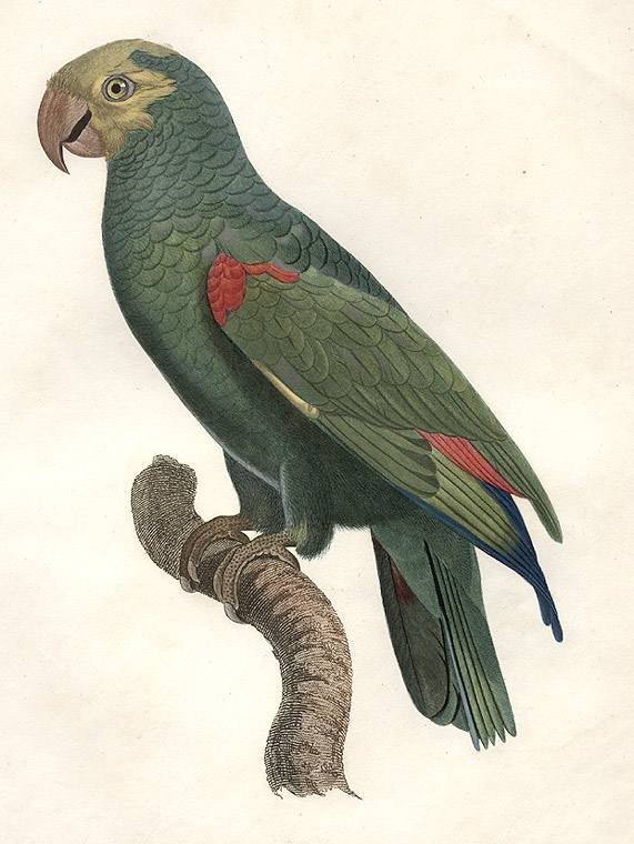 [L'amazone à tête jaune (Yellow-crowned Amazon [Amazona ochrocephala])]. Jacques BARRABAND, 1767/.