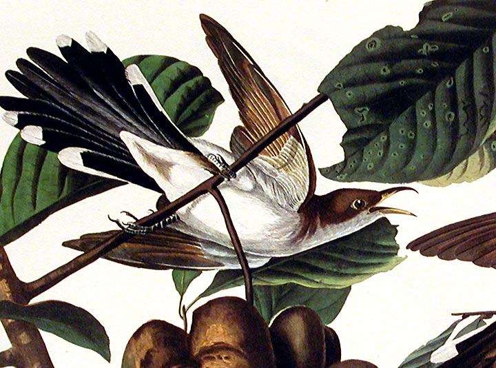 "Yellow-billed Cuckoo. From ""The Birds of America"" (Amsterdam Edition). John James AUDUBON."