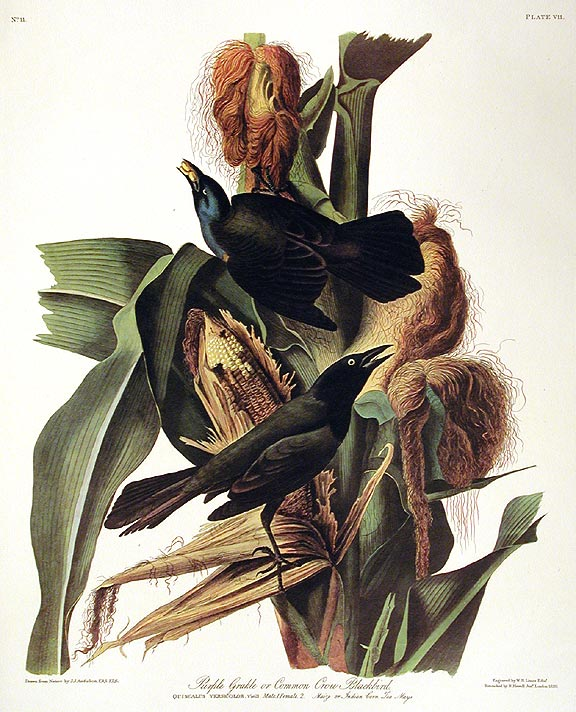 "Purple Grakle or Common Crow Backbird. From ""The Birds of America"" (Amsterdam Edition). John James AUDUBON."