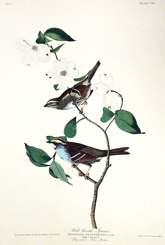 "White throated Sparrow. From ""The Birds of America"" (Amsterdam Edition). John James AUDUBON."