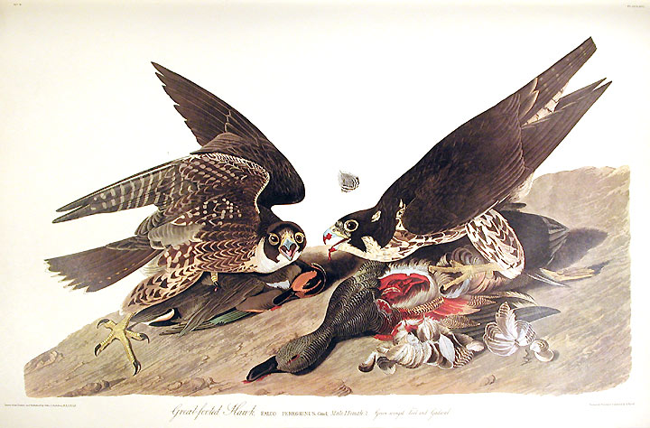 "Great-footed Hawk. From ""The Birds of America"" (Amsterdam Edition). John James AUDUBON."