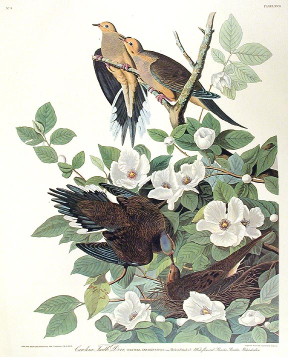 "Carolina Turtle Dove. From ""The Birds of America"" (Amsterdam Edition). John James AUDUBON."