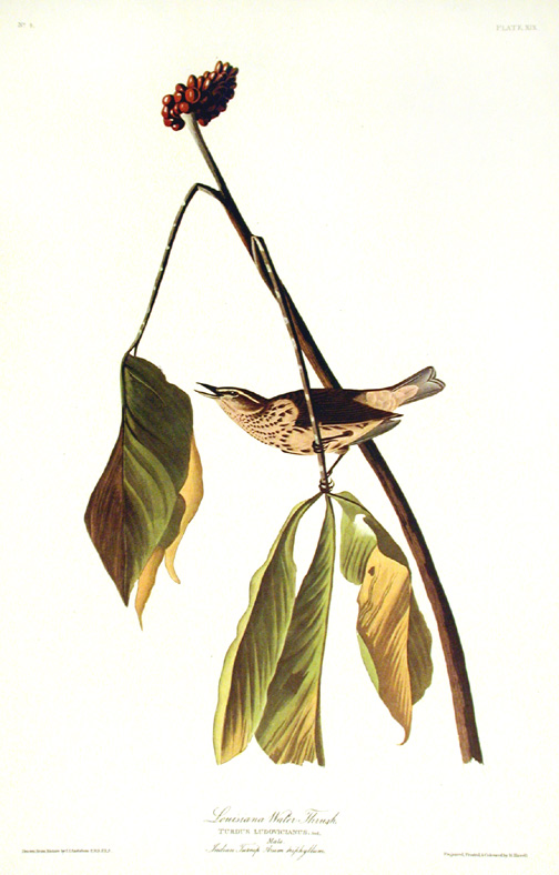 "Louisiana Water Thrush. From ""The Birds of America"" (Amsterdam Edition). John James AUDUBON."