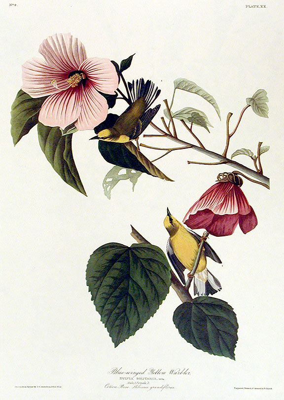 "Blue-winged Yellow Warbler. From ""The Birds of America"" (Amsterdam Edition). John James AUDUBON."