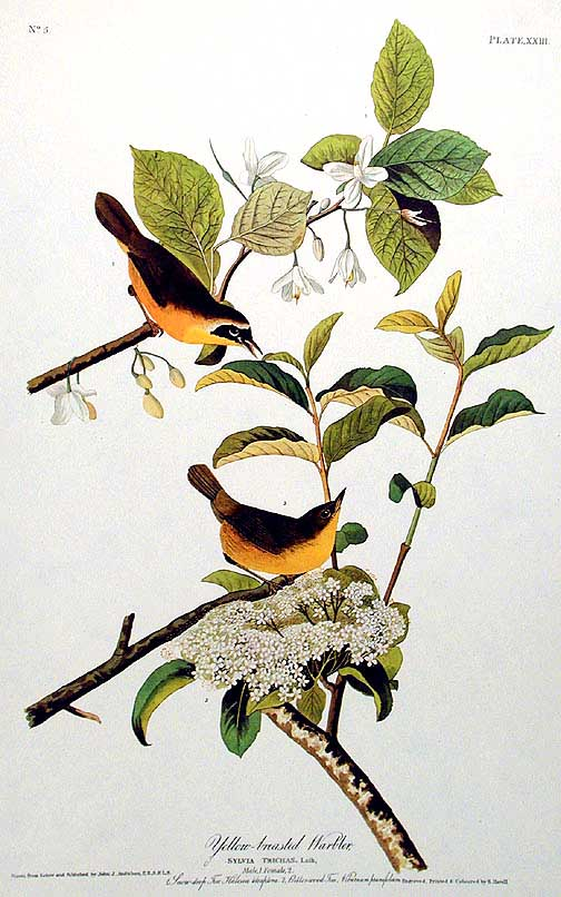 "Yellow-breasted Warbler. From ""The Birds of America"" (Amsterdam Edition). John James AUDUBON."