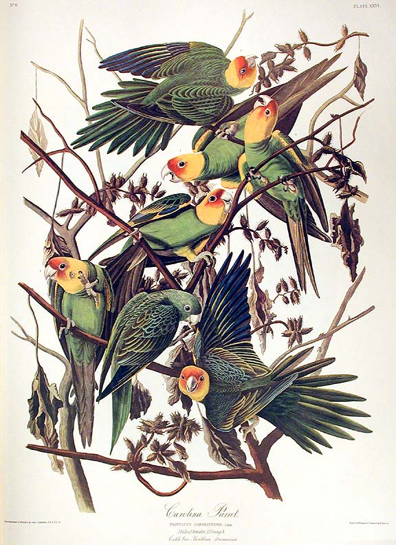 "Carolina Parrot. From ""The Birds of America"" (Amsterdam Edition). John James AUDUBON."