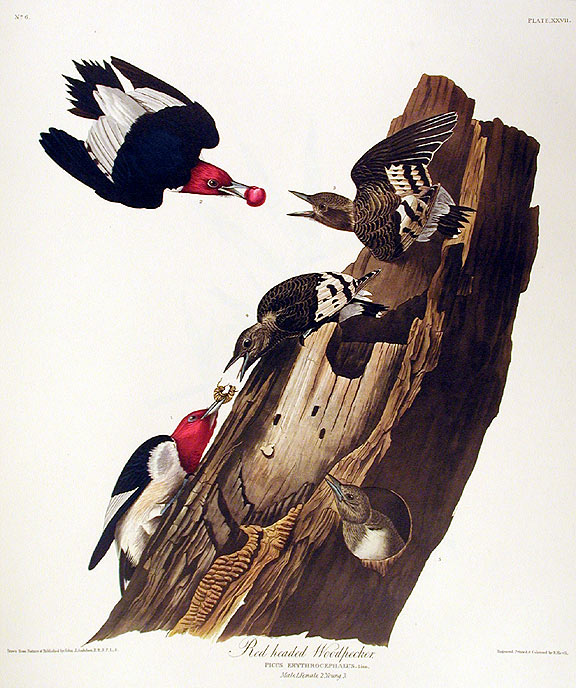"Red headed Woodpecker. From ""The Birds of America"" (Amsterdam Edition). John James AUDUBON."
