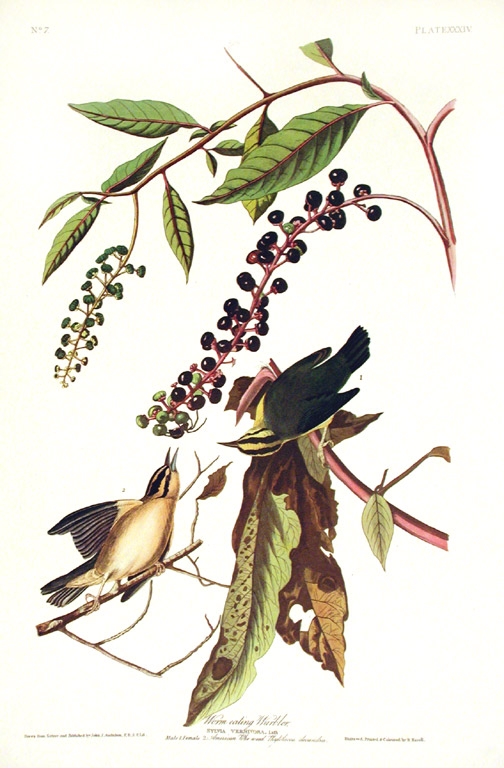 "Worm eating Warbler. From ""The Birds of America"" (Amsterdam Edition). John James AUDUBON."