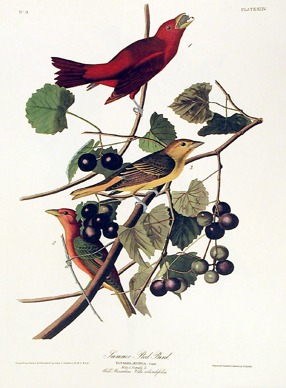 "Summer Red Bird. From ""The Birds of America"" (Amsterdam Edition). John James AUDUBON."