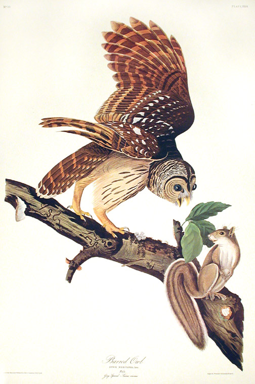 "Barred Owl. From ""The Birds of America"" (Amsterdam Edition). John James AUDUBON."