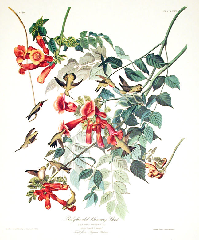 "Ruby-throated Humming Bird. From ""The Birds of America"" (Amsterdam Edition). John James AUDUBON."
