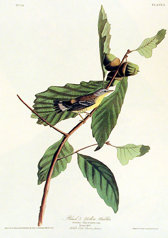 """Black and Yellow Warbler. From """"The Birds of America"""" (Amsterdam Edition). John James AUDUBON."""