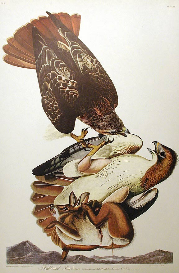 "Red-tailed Hawk. From ""The Birds of America"" (Amsterdam Edition). John James AUDUBON."