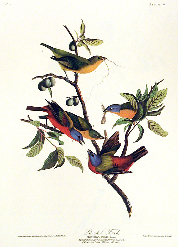 "Painted Finch. From ""The Birds of America"" (Amsterdam Edition). John James AUDUBON."