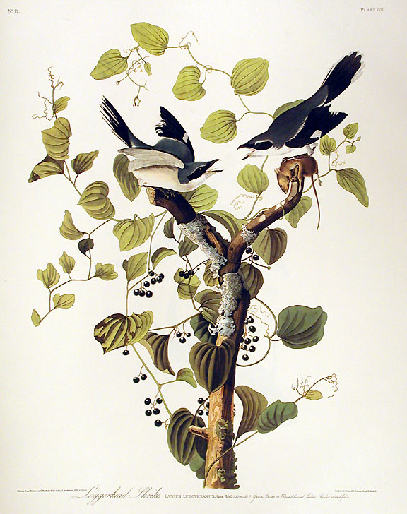 "Loggerhead Shrike. From ""The Birds of America"" (Amsterdam Edition). John James AUDUBON."