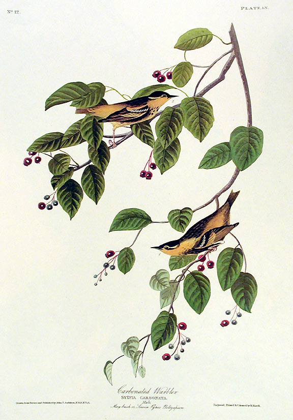 """Carbonated Warbler. From """"The Birds of America"""" (Amsterdam Edition). John James AUDUBON."""