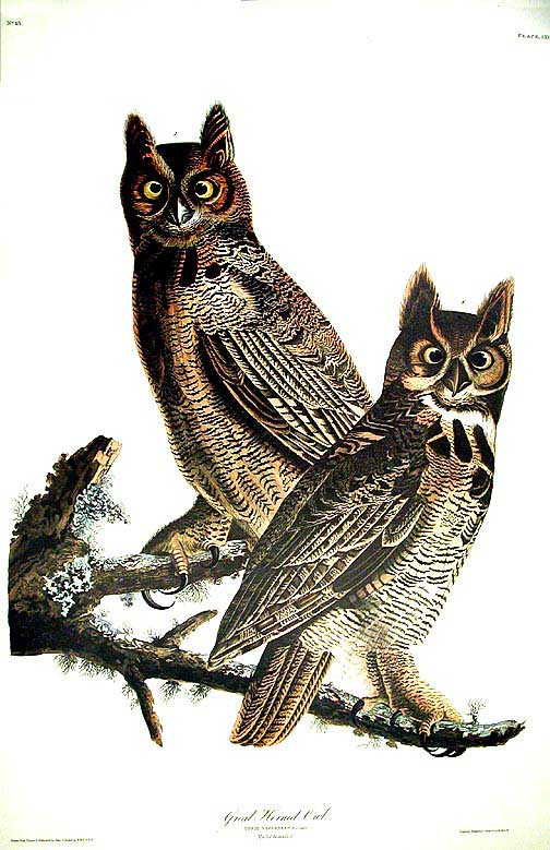 "Great Horned Owl. From ""The Birds of America"" (Amsterdam Edition). John James AUDUBON."