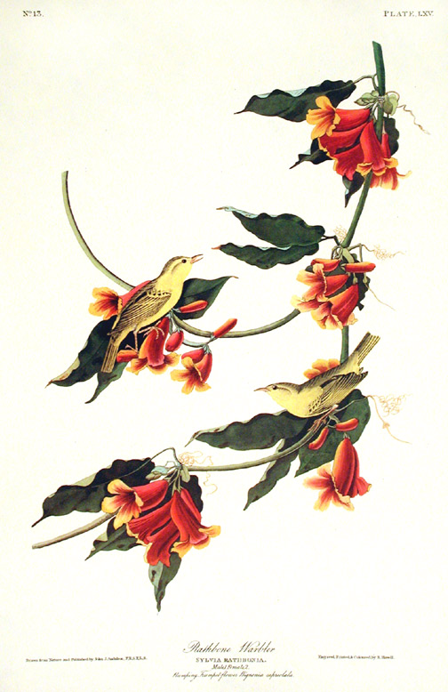 "Rathbone Warbler. From ""The Birds of America"" (Amsterdam Edition). John James AUDUBON."