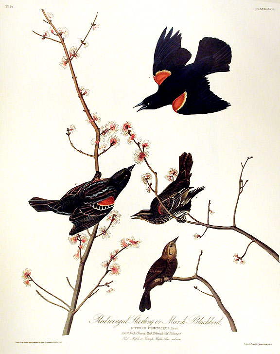 "Red winged Starling or Marsh Blackbird. From ""The Birds of America"" (Amsterdam Edition). John James AUDUBON."