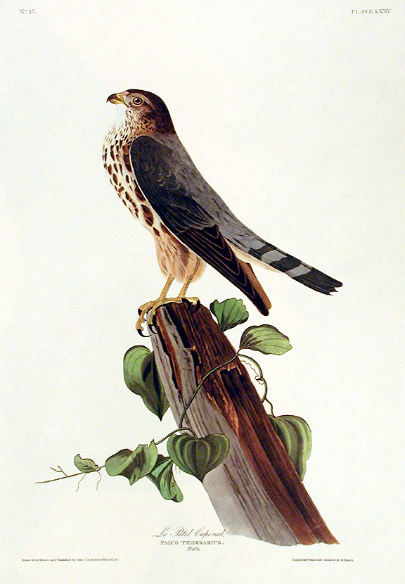 "Le Petit Caporal. From ""The Birds of America"" (Amsterdam Edition). John James AUDUBON."