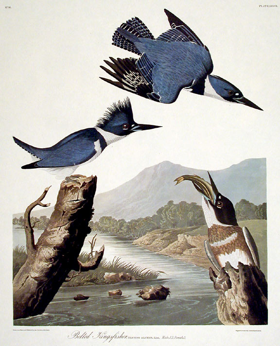 "Belted Kingfisher. From ""The Birds of America"" (Amsterdam Edition). John James AUDUBON."