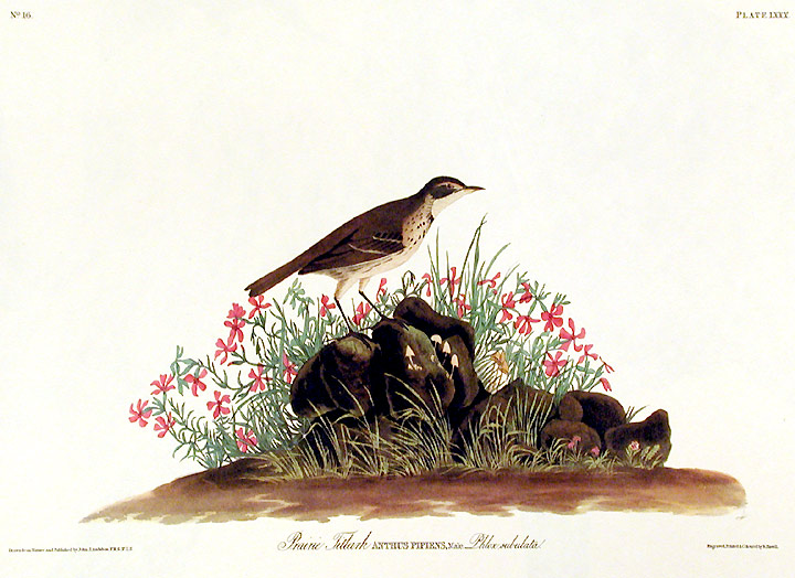 "Prairie Titlark. From ""The Birds of America"" (Amsterdam Edition). John James AUDUBON."
