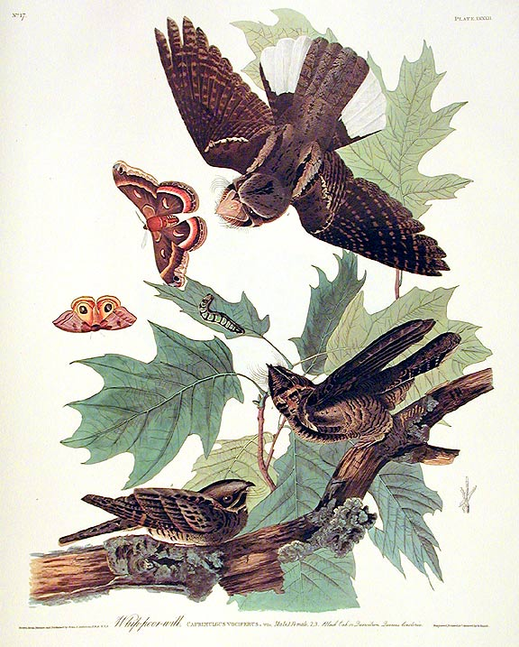"Whip-poor-will. From ""The Birds of America"" (Amsterdam Edition). John James AUDUBON."