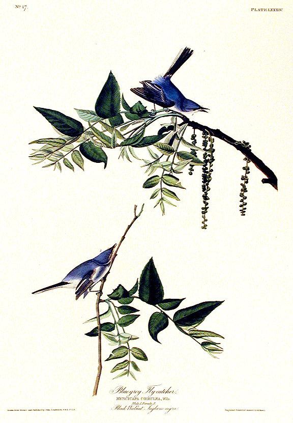"Blue-grey Fly-catcher. From ""The Birds of America"" (Amsterdam Edition). John James AUDUBON."