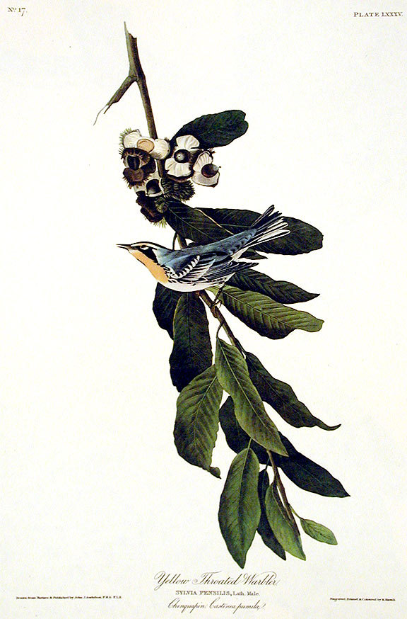 "Yellow Throated Warbler. From ""The Birds of America"" (Amsterdam Edition). John James AUDUBON."