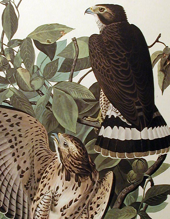 "Broad-winged Hawk. From ""The Birds of America"" (Amsterdam Edition). John James AUDUBON."