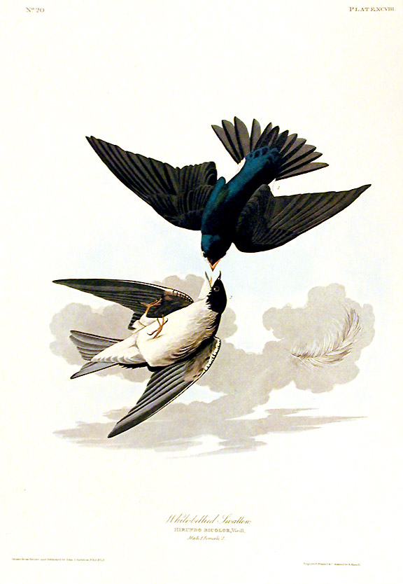 "White-bellied Swallow. From ""The Birds of America"" (Amsterdam Edition). John James AUDUBON."