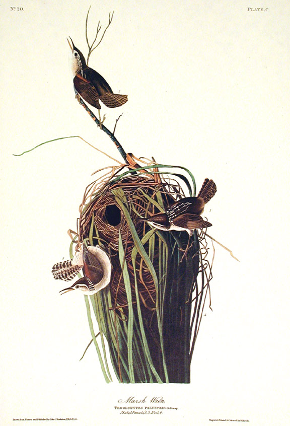 "Marsh Wren. From ""The Birds of America"" (Amsterdam Edition). John James AUDUBON."