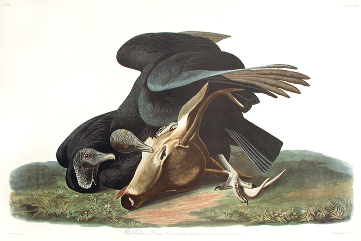 """Black Vulture or Carrion Crow. From """"The Birds of America"""" (Amsterdam Edition). John James AUDUBON."""