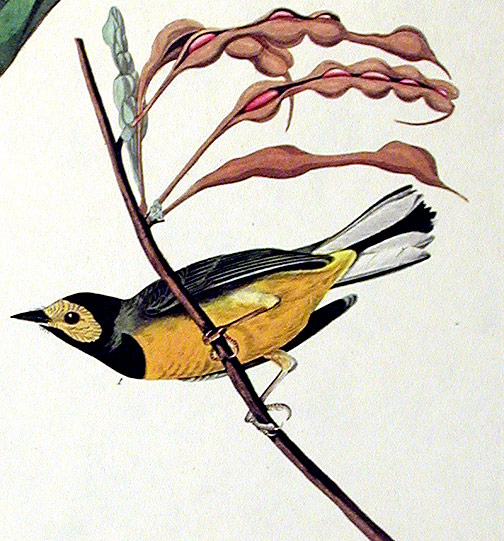"Hooded Warbler. From ""The Birds of America"" (Amsterdam Edition). John James AUDUBON."