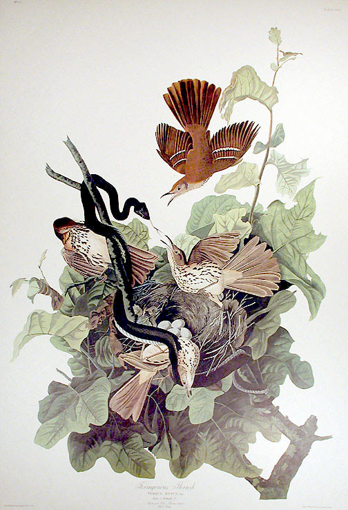 "Ferruginous Thrush. From ""The Birds of America"" (Amsterdam Edition). John James AUDUBON."
