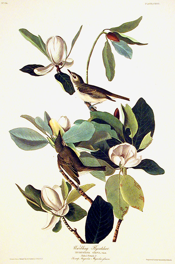 "Warbling Flycatcher. From ""The Birds of America"" (Amsterdam Edition). John James AUDUBON."
