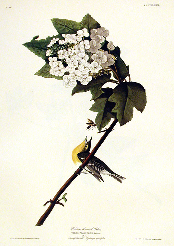 "Yellow-throated Vireo. From ""The Birds of America"" (Amsterdam Edition). John James AUDUBON."