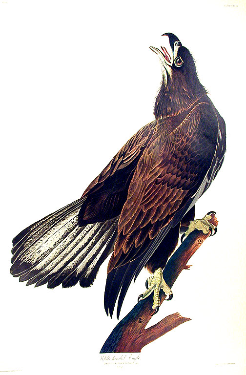 "White headed Eagle. From ""The Birds of America"" (Amsterdam Edition). John James AUDUBON."