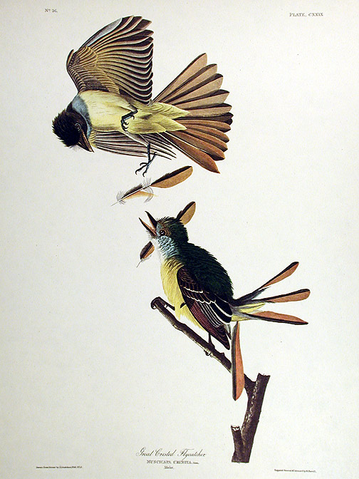 "Great Crested Flycatcher. From ""The Birds of America"" (Amsterdam Edition). John James AUDUBON."