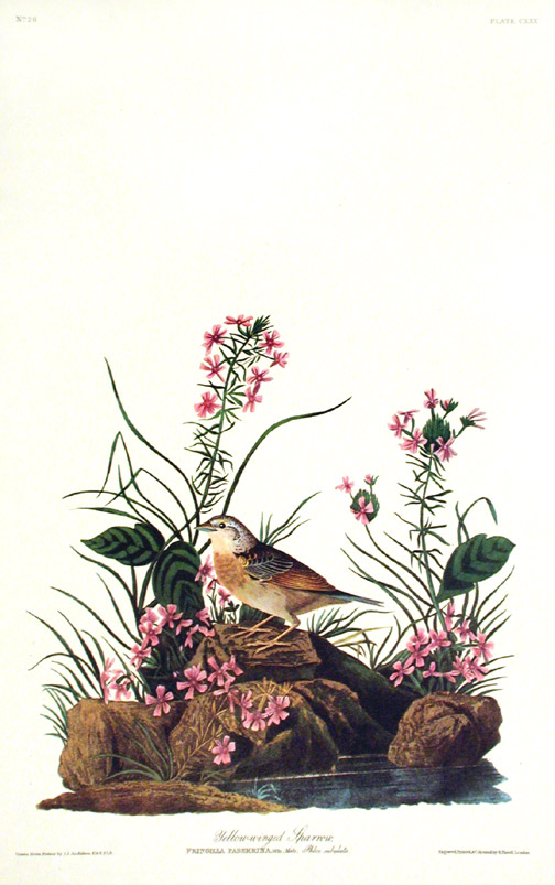 "Yellow-winged Sparrow. From ""The Birds of America"" (Amsterdam Edition). John James AUDUBON."