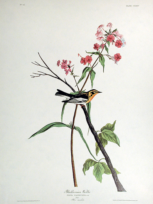 "Blackburnian Warbler. From ""The Birds of America"" (Amsterdam Edition). John James AUDUBON."