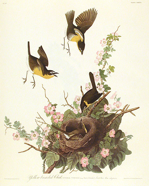 "Yellow-breasted Chat. From ""The Birds of America"" (Amsterdam Edition). John James AUDUBON."