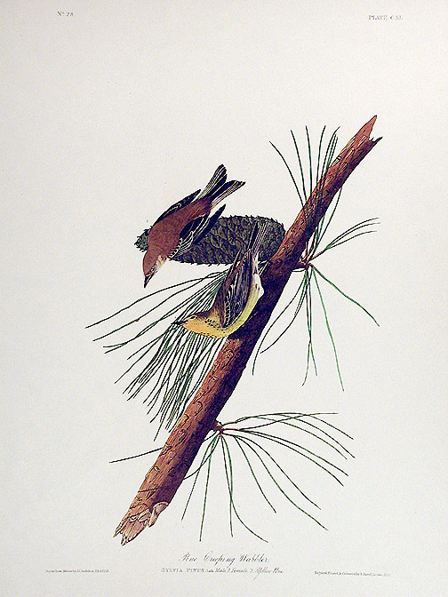 "Pine Creeping Warbler. From ""The Birds of America"" (Amsterdam Edition). John James AUDUBON."