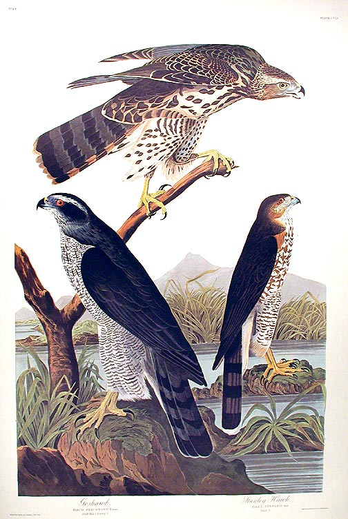 "Goshawk...Stanley Hawk. From ""The Birds of America"" (Amsterdam Edition). John James AUDUBON."