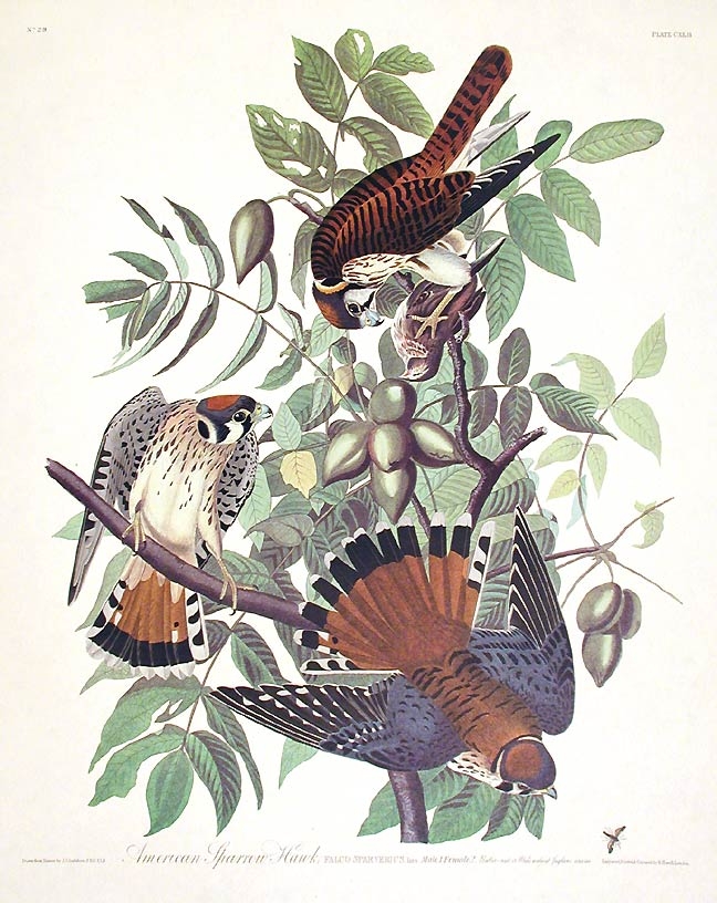 "American Sparrow Hawk. From ""The Birds of America"" (Amsterdam Edition). John James AUDUBON."