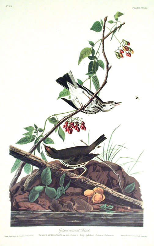 "Golden-crowned Thrush. From ""The Birds of America"" (Amsterdam Edition). John James AUDUBON."